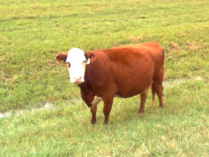 My cud-chewing cowfriend (yes, I did just steal that line from Denise Levertov) 731B, according to the tag on her ear. I renamed her Brenda.